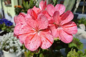 geranium-554075_1280